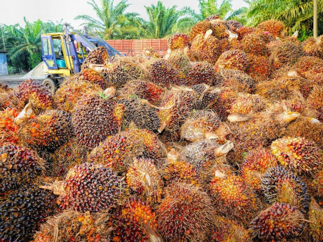 photo shows palm oil harvest