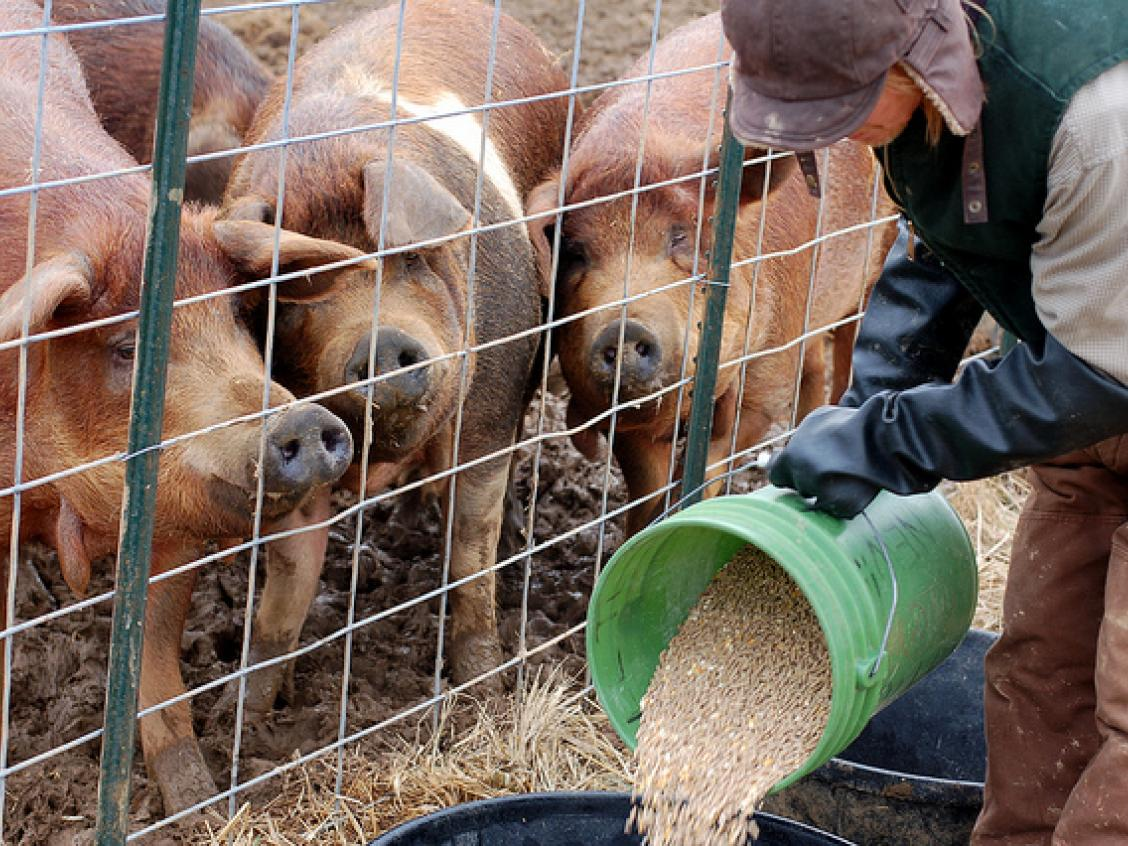 photo shows pigs being fed