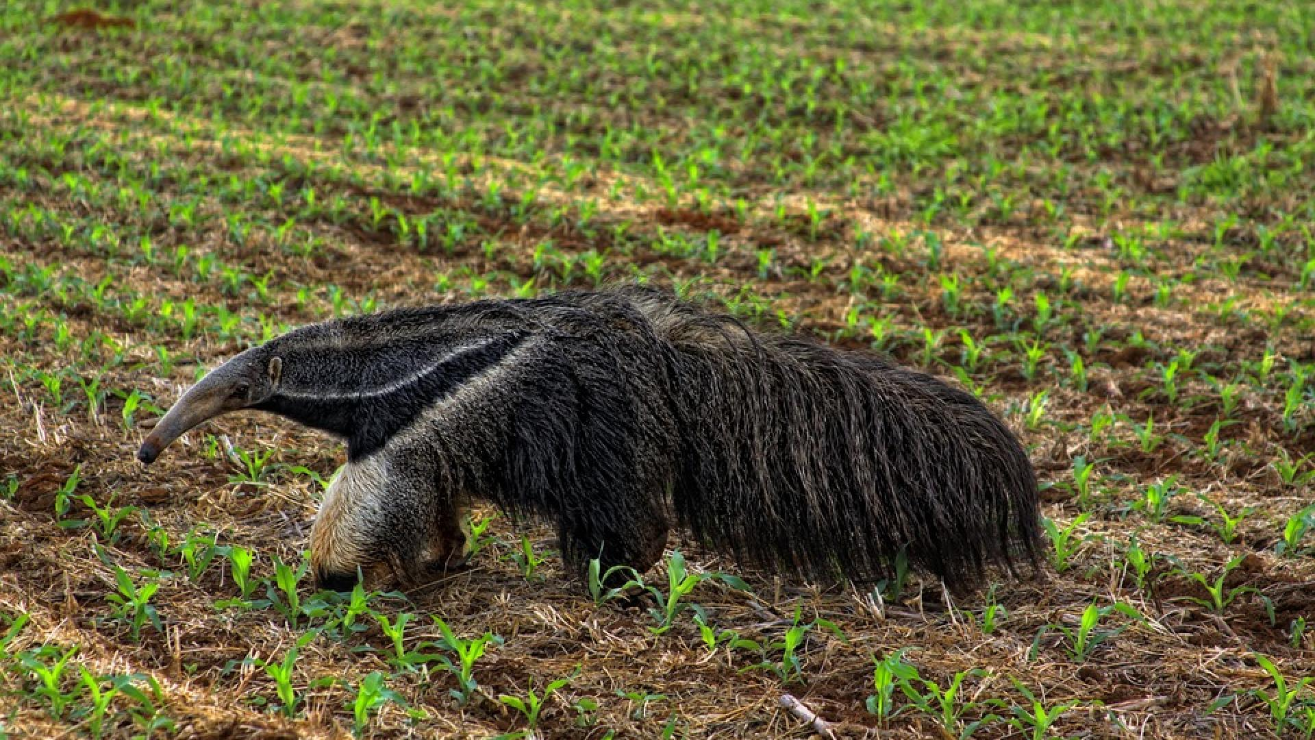 A Giant Anteater (Myrmecophaga tridactyla) crossing a soy field in the Cerrado