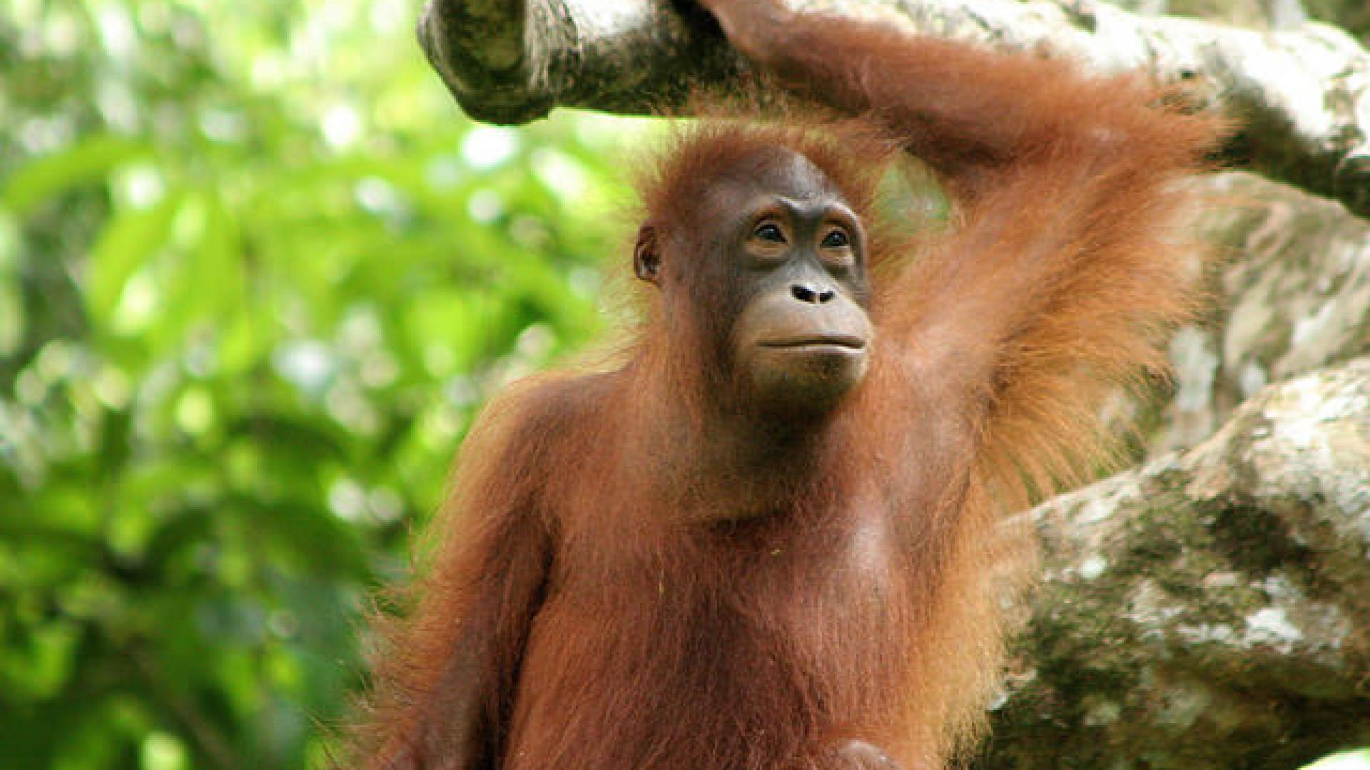 Photo shows an orangutan in the forest