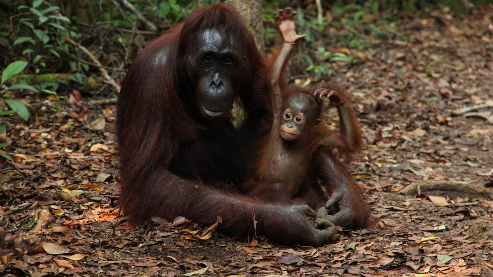 Photo shows orangutan mother and baby
