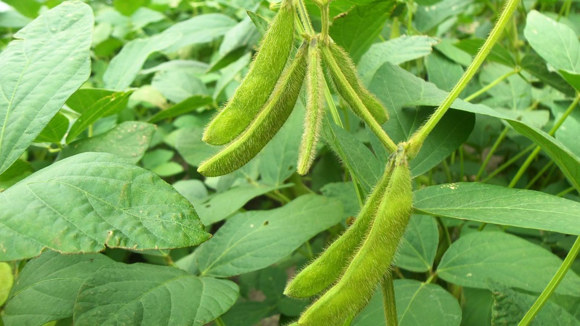 Photo shows a soybean plant