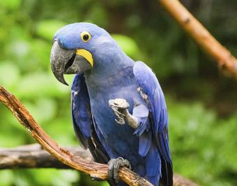 photo shows a hyacinth macaw